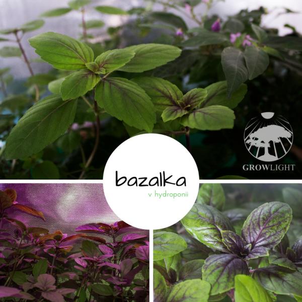 Bazalka v hydroponii