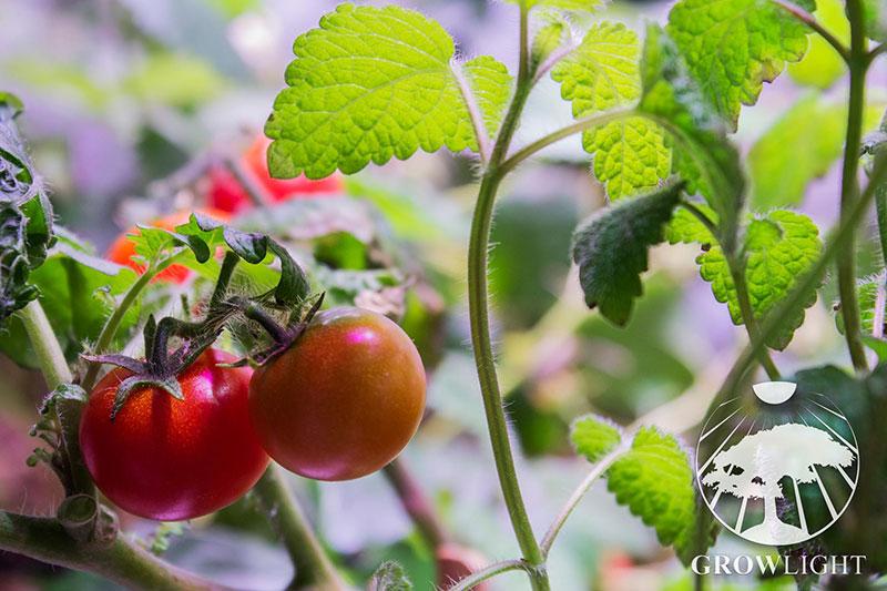 Čerstvá zelenina a bylinky po celý rok - Growlight