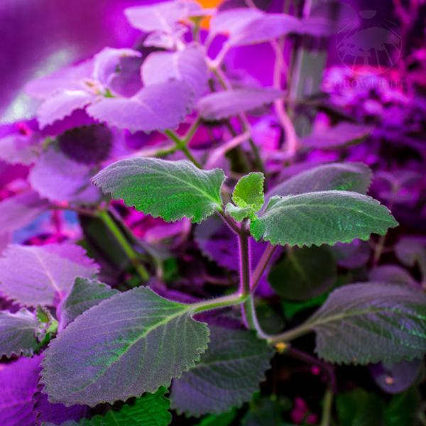 Rýmovník pěstovaný v hydroponii