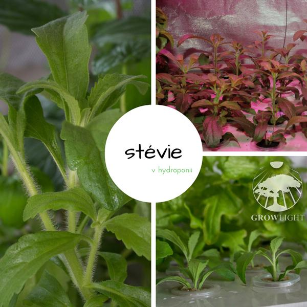 Stévie sladká pěstovaná v hydroponii