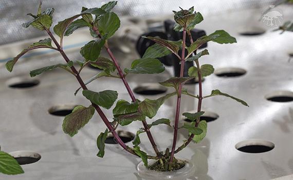 Stříhání klonovaných bylinek