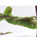 Napadení housenkami v interiérové zahradě vyřešíte snadno, odstraněním housenky z rostliny