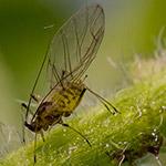 Zastavte invazi mšic na rostlinách přírodní i chemickou cestou