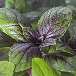 Jak pěstovat bazalku italskou, pravou, vytrvalou a trpasličí doma v hydroponii