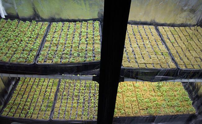 Výsadba hydroponických sazenic pro celoroční pěstování v pěstebním stanu pro indoor pěstování rostlin