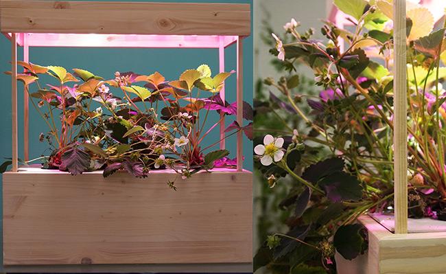 Celoroční pěstování jahod v hydroponii díky originální sadě Hydroponik začátečník