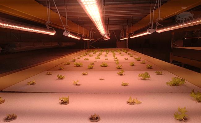 Pěstování tropických rostlin pod pěstebním osvětlení