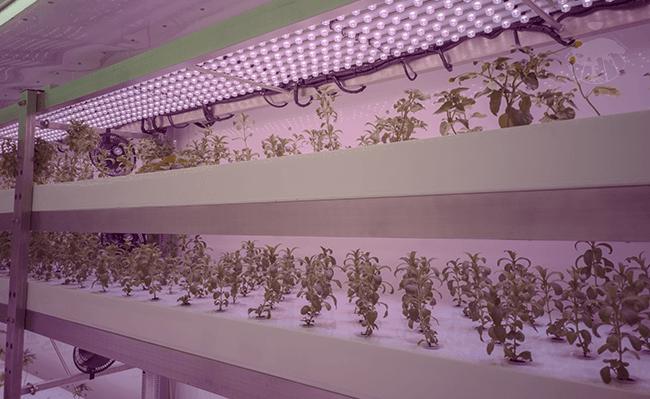 Vertikální hydroponická farma pěstující stévii sladkou pro výrobu tinktury