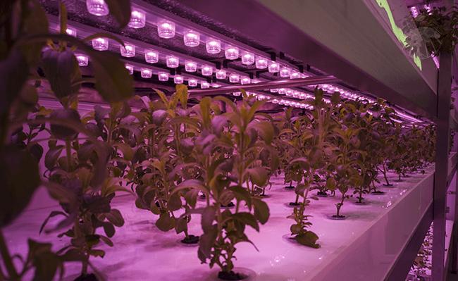 Keříky stévie sladké, hydroponicky pěstované přírodní sladidlo