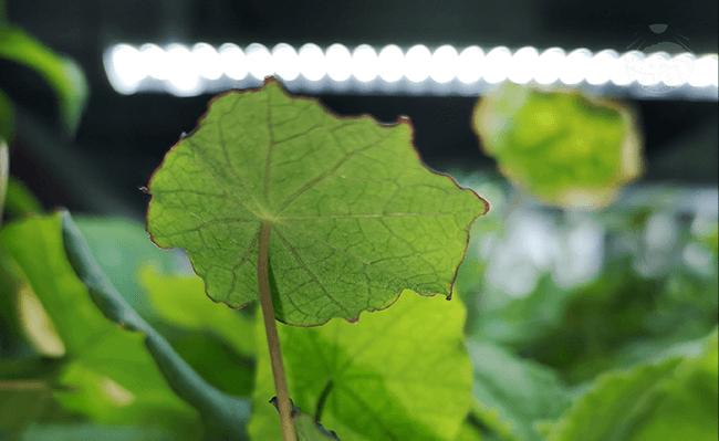 Pěstování lichořeřišnice pro dezinfekci krku v bytová zahradě s umělým osvětlením