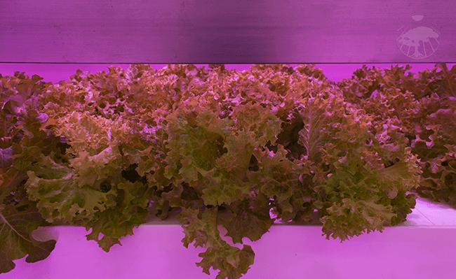 Půl roku testování produkce vertikální hydroponické farmy